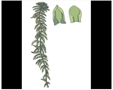 Sphagnum tenellum (Brid.) Pers. ex Brid.