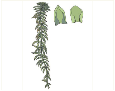 Сфагн тоненький (Sphagnum tenellum (Brid.) Pers. ex Brid.)
