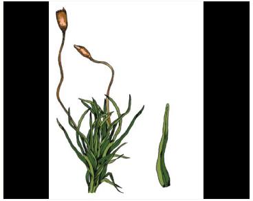 Кампилостелиум скальный (Campylostelium saxicola (F. Weber et D. Mohr) Bruch et Schimp.)