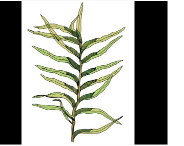 Fissidens fontanus (Bach.Pyl.) Steud. (Octodiceras fontanum (Bach.Pyl.) Lindb.)