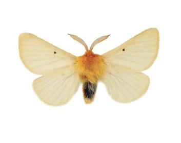Шовкопряд кульбабовий lemonia taraxaci denis