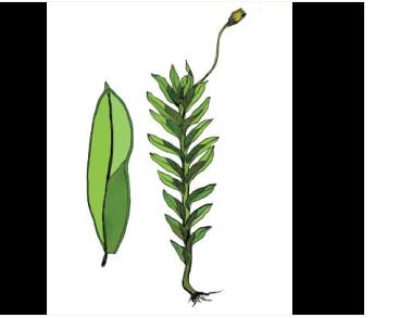 Фиссиденс речной (Fissidens rivularis (Spruce) Schimp.)