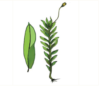 Фісиденс струмковий (Fissidens rivularis (Spruce) Schimp.)