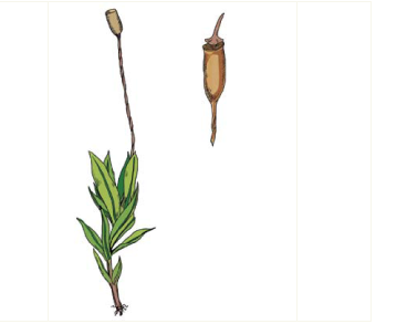 Хеннедиелла Хайма (Hennediella heimii (Hedw.) R. H. Zander (Desmatodon heimii (Hedw.) Mitt.))