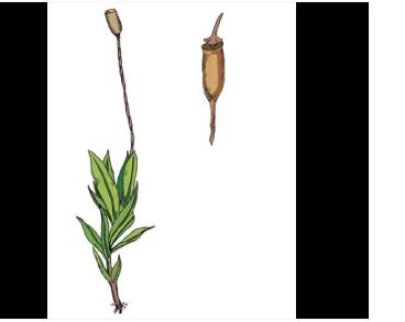 Генедієла Гайма (Hennediella heimii (Hedw.) R. H. Zander (Desmatodon heimii (Hedw.) Mitt.))