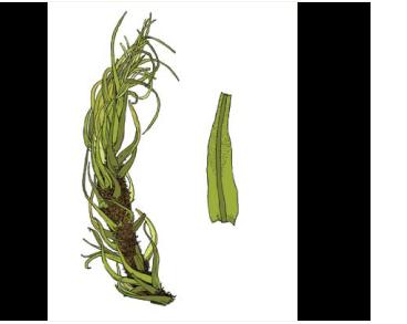 Тортелла ломкая (Tortella fragilis (Hook. et Wilson) Limpr.)