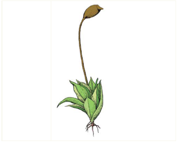 Тортула Ранда (Tortula randii (Kenn.) R.H.Zander (Desmatodon randii (Kenn.) Laz.))