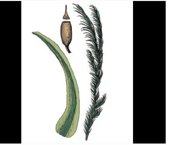 Цинклидотус водный (Cinclidotus aquaticus (Hedw.) Bruch et Schimp.)