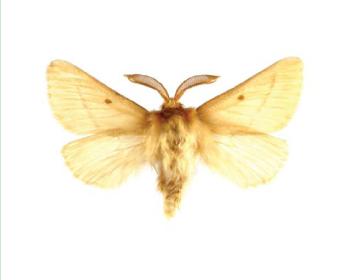 Шовкопряд балліона lemonia ballioni christoph 1888