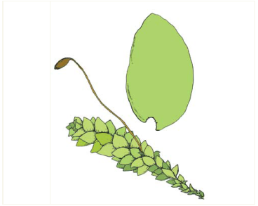 Гукерия (хукерия) блестящая (Hookeria lucens (Hedw.) Sm.)