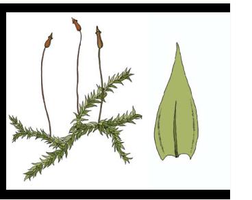 Анакамптодон сплахновидный (Anacamptodon splachnoides (Froel. ex Brid.) Brid.)