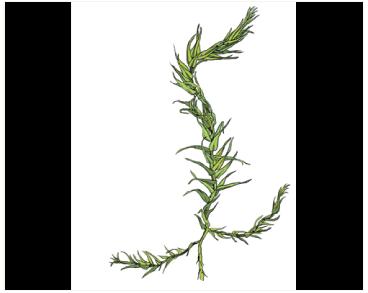 Conardia compacta (Drumm. ex Müll. Hal.) H. Rob. (Amblystegium compactum (Müll. Hal.) Austin)