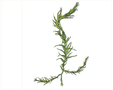 Конардия плотная (Conardia compacta (Drumm. ex Müll. Hal.) H. Rob. (Amblystegium compactum (Müll. Hal.) Austin))