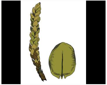 Псевдокаліергон трирядний (Pseudocalliergon trifarium (F. Weber et D. Mohr) Loeske (Calliergon trifarium (F. Weber et D. Mohr) Kindb.))
