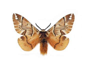 Ендроміс березовий (Endromis versicolora (Linnaeus, 1758))