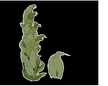 Скорпідій скорпіоноподібний (Scorpidium scorpioides (Hedw.) Limpr.)