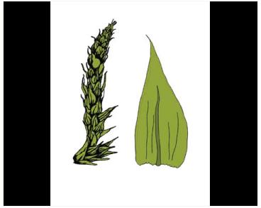 Птиходиум складчатый (Ptychodium plicatum (Schleich. ex F. Weber et D. Mohr) Schimp. (Lescuraea plicata (F. Weber et D. Mohr) Broth.))