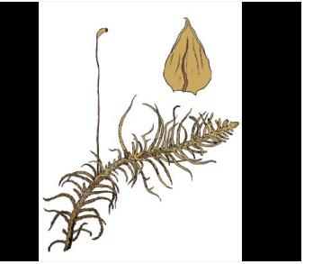 Гелодій Бландова (Helodium blandowii (F.Weber et D.Mohr) Warnst.)