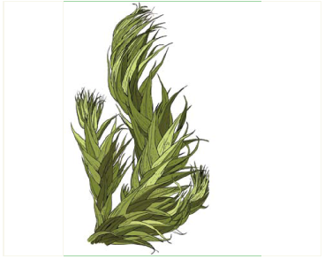 Palamocladium euchloron (Müll. Hal.) Wijk et Margad. (Pleuropus euchloron (Müll. Hal.) Broth.)