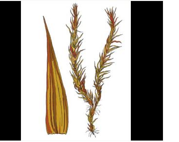 Ортотециум рыжеватый (Orthothecium rufescens (Dicks. ex Brid.) Schimp.)