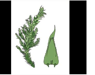 Гетерофиллиум близкий (Heterophyllium affine (Hook.) M. Fleisch.)