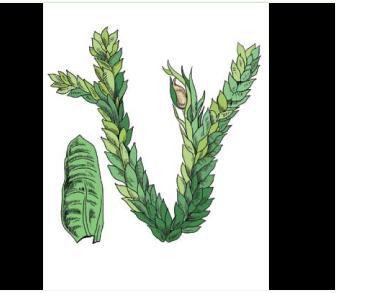 Неккера Мензиса (Neckera menziesii Drumm. (Metaneckera menziesii (Drumm.) Steere))