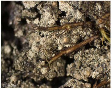 Леукокарпія біаторова (Leucocarpia biatorella (Arnold) Vezda)