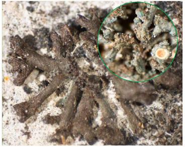 Лептогиум Шредера (Шрадера) (Leptogium schraderi (Ach.) Nyl.)