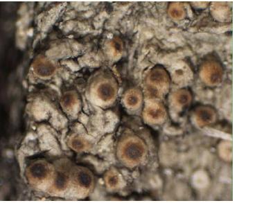 Белонія геркулінська (Belonia herculina (Rehm ex Lojka) Hazsl)