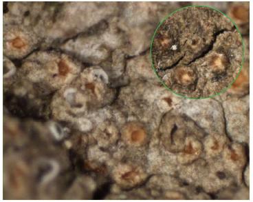 Гиалекта стволовая (Gyalecta truncigena (Ach.) Hepp)