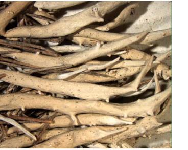 Тамнолия щетинистая (Thamnolia vermicularis (Sw.) Schaer.)