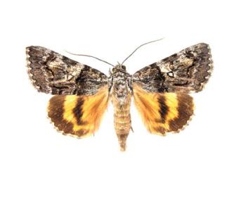 Стрічкарка диз'юнктивна (Catocala disjuncta (Geyer, 1828))