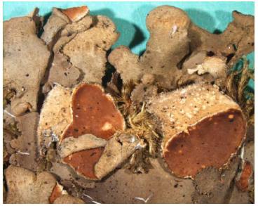 Нефрома завернутая (Nephroma resupinatum (L.) Ach.)