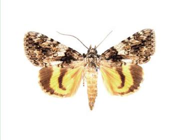 Ленточница красно-жёлтая (Catocala diversa (Geyer, 1828))