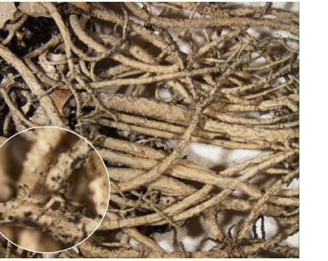 Lethariella intricata (Moris) Krog (=Rhytidocaulon arboricola (Jatta) Elenk.)