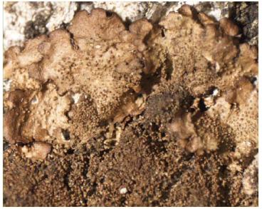 Melanohalea elegantula (Zahlbr.) O. Blanco et al. (=Melanelia elegantula (Zahlbr.) Essl.; Melanelia incolorata (Parr.) Essl., Parmelia elegantula (Zahlbr.) Szat.)