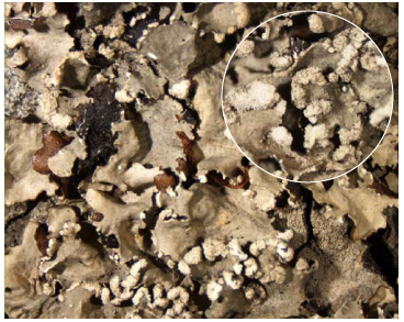 Parmotrema perlata (Huds.) M. Choisy (=Parmotrema chinense (Osbeck) Hale et Ahti Parmelia perlata (Huds.) Ach.)