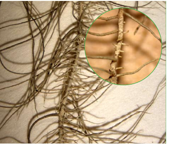 Доліхоуснея найдовша, уснея найдовша (Dolichousnea longissima (Ach.) Articus (Usnea longissima Ach.))