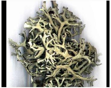 Ксантопармелія загорнута, ксантопармелія камчадальська, пармелія блукаюча (Xanthoparmelia convoluta (Krempelh.) Hale (=Xanthoparmelia camtschadalis (Ach.) Hale Parmelia vagans' Nyl.))