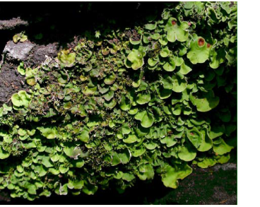 Солорина мешковатая (Solorina saccata (L.) Ach.)
