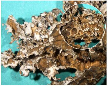 Рамаліна рвана (Ramalina lacera (With.) J.R. Laundon (= Ramalina duriaei (Dnot.) Bagl., Ramalina evernioides auct. non Nyl.))