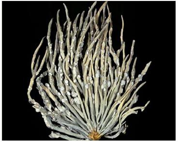 Рочела водоростеподібна (Roccella phycopsis (Ach.) (=Roccella fucoides (Dicks.) Vain.)