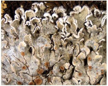 Сквамарина сочевиценосная (Squamarina lentigera (G. H. Weber) Poelt)