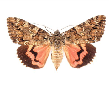 Стрічкарка орденська малинова (Catocala sponsa (Linnaeus, 1767))