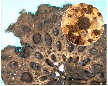 Ласаллия пупырчатая (Lasallia pustulata (L.) Merat (=Umbilicaria pustulata (L.) Hoffm.))