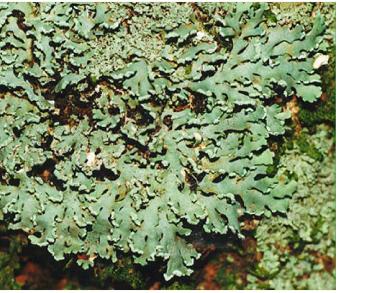 Гетеродермія прекрасна, анаптіхія прекрасна (Heterodermia speciosa (Wulf.) Trev. incl. (Heterodermia pseudospeciosa (Kurok.) W. Culb., (Anaptychia speciosa (Wulf.) Massal.))