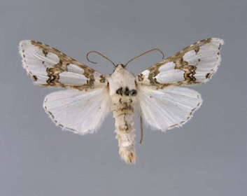 Каптурниця пишна (Cucullia magnifca (Freyer, 1840))
