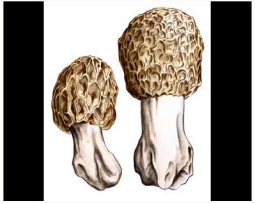 Сморчок толстоногий (Morchella crassipes (Vent.) Pers)