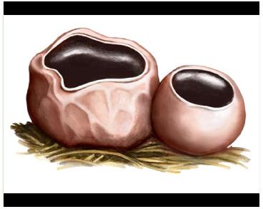 Саркосома куляста (Sarcosoma globosum (Schmidel) Rehm)