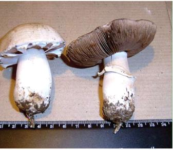 Шампиньон Романьези (Agaricus romagnesii Wasser [Agaricus radicatus (Vittad.) Romagn.])